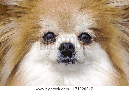 Close up Face of long haired Pomeranian Dog