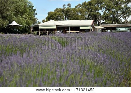Wandin Yallock Australia - Jan 4 2017. Warratina Lavender Farm set in the Yarra Valley. Next to the Drying Shed are the Tea Rooms and Gift Shop where visitors enjoy local cuisine & lavender scones.