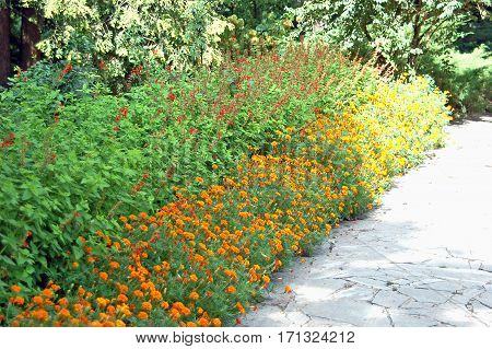 Tagetes And Salvia In Flowerbed