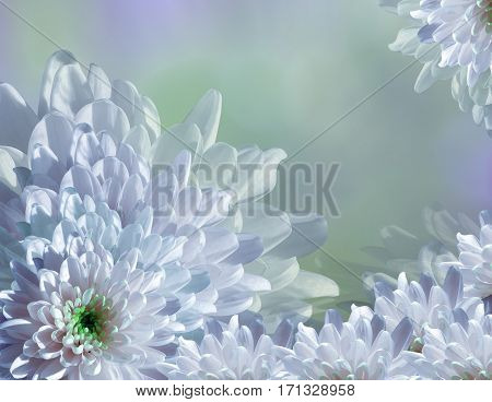 flower on blurry turquoise-blue-green background halftone. Blue-white flowers chrysanthemum. floral collage. Flower composition. Nature.