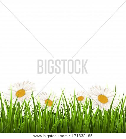 Green grass lawn with white chamomiles isolated on white. Floral nature flower background