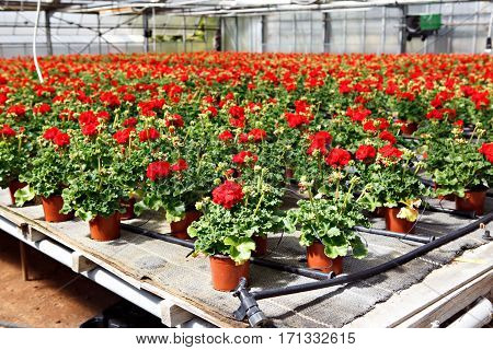 Cultivation of pink, purple, red geraniums flowers in a greenhouse. Flowers for sale, spring concept.