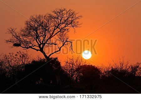 Sunrise with a silhouetted African savanna tree, Kruger National Park, South Africa
