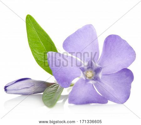 Beautiful Blue Flower Periwinkle With Bud On White Background