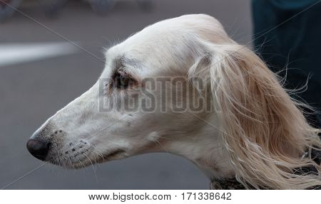 A beautiful Saluki sighthound naturally and gracefully poised