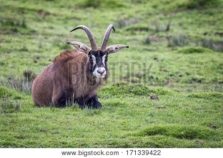 A lonely roan antelope lying on the grass facing forward