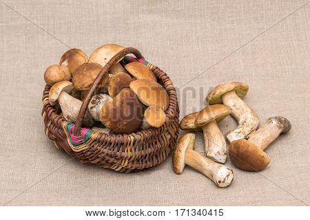 Group of porcini mushrooms on linen. Cep mushrooms in the basket