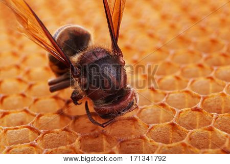 Hornet on honeycomb closeup. Nature background macro