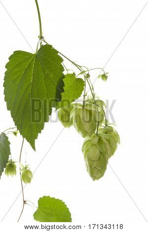 Hop twig isolated on white background. Natural background.
