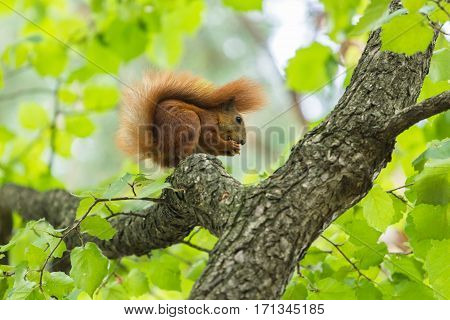 Squirrel eat hazelnut sitting on a brown tree