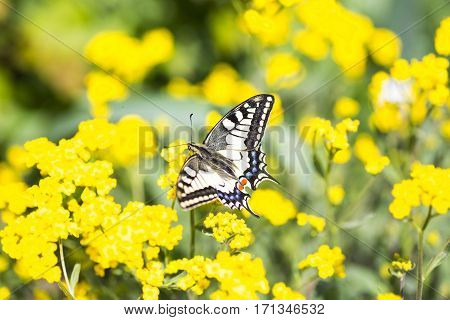 Close-up Butterfly Swallowtail On Yellow Flowers In Garden