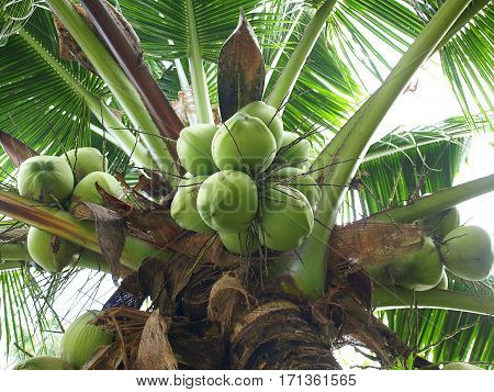 Green coconut fruit on coconut palm tree