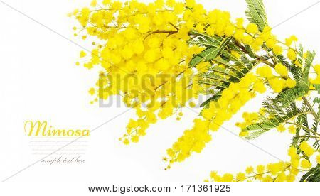 Branches of mimosa isolated on white background