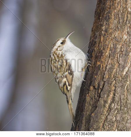 Small bird Eurasian or Common Treecreeper Certhia familiaris close-up portrait on tree with bokeh background selective focus shallow DOF