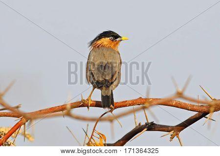 Brahminy Starling Sturnus pagodarum Birds of Thailand