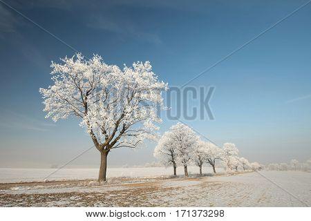 Winter tree on a sunny morning. Poland.