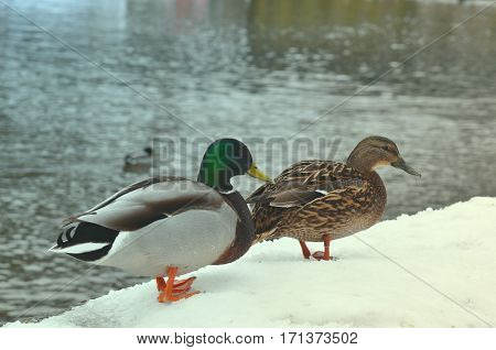 Close up broun duck and emerald green drake. Wild nature life feeding ducks walking in winter park concept. Two wild mallard ducks standing on pier covered with snow near river