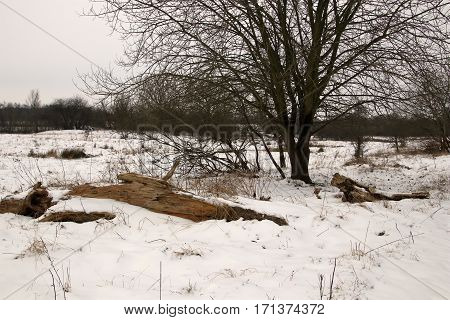 Live and dead tree in the snow in February
