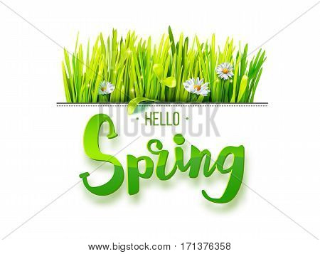 Hello Spring lettering with green grass and chamomile isolated on white background. Spring background. Design for banners, greeting cards, spring sales. Vector illustration