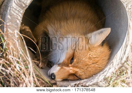 young fox frozen in a roadside ditch
