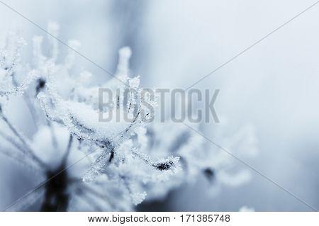Frozen flowers decoration. Frozen natural background. Seasons - winter.