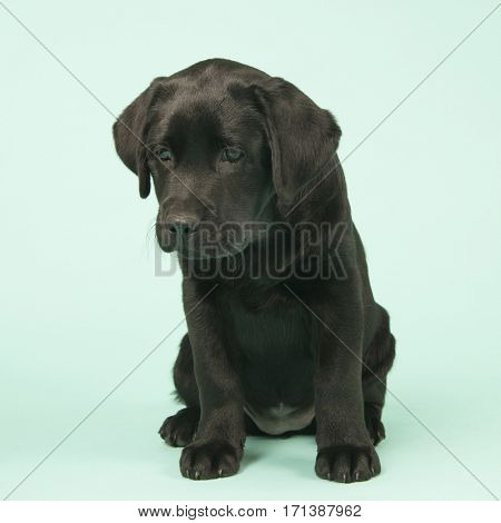 Cute little Chocolate Labrador puppy on green background