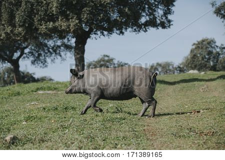 Iberian pig running over a Spanish green meadow.