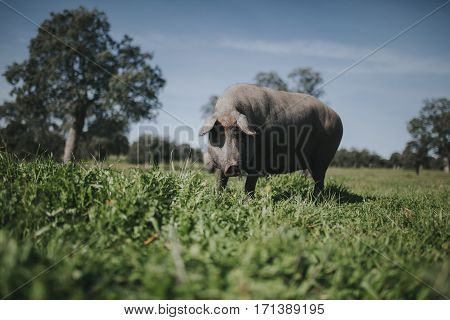 Iberian pig in a green meadow, looking at camera.