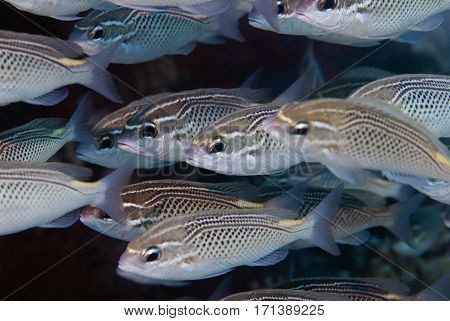 Fusilier Fish Shoal In The Red Sea. Selective Focus Set On The Fish In The Center