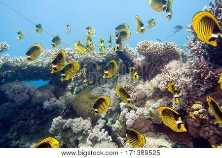 Shoal Of Striped Butterfly Fish At The Coral Reef