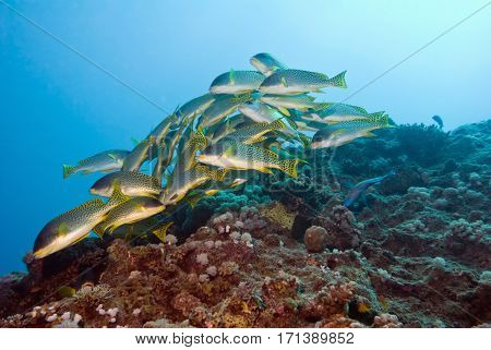 Yellowspotted sweetlip shoal, color image, toned image