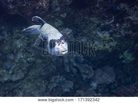 Masked Pufferfish Swimming Over Deep Water In Coral Sea
