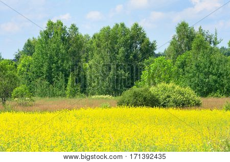 Summer beautiful landscape with woods and flowering rape.