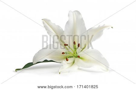 Just a Lone Lily Being Beautiful - the white lily symbolizes virginity, chastity and virtue, here is a lone head isolated on a white background
