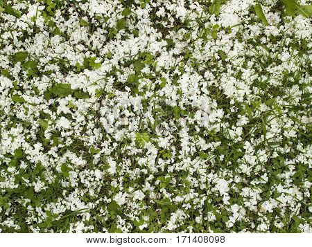 Grass and clover strewn with white petals. Seamless background.