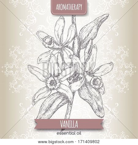 Vanilla planifolia aka Vanilla sketch on elegant lace background. Aromatherapy series. Great for traditional medicine, perfume design, cooking or gardening.