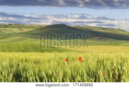 Springtime.Between Apulia and Basilicata: hilly landscape with green cornfields.ITALY. Spring countryside with immature ears of corn.