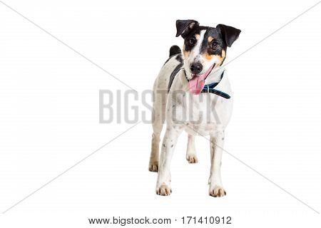 Fox terrier posing in studio on grey background. Terrier in a blue collar. isolated