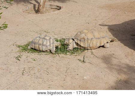 Turtles Sunning photo basking and swimming in the sun