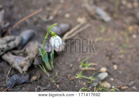 Snowdrop Rise From The Ground To Announce Spring