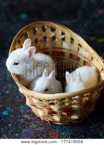 Fluffy white rabbits sitting in basket, one bunny looking out