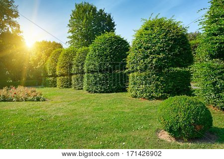 Hedges and ornamental shrub in a summer park. Bright Sunrise in the blue sky