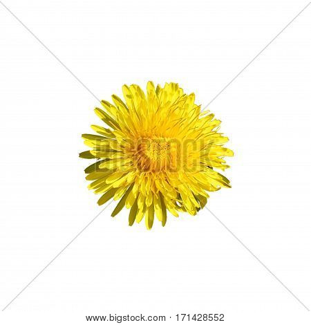 beautiful wild yellow bud flower dandelions with petals closeup isolated on white background