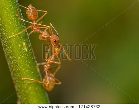 The red ant feeding in the tree
