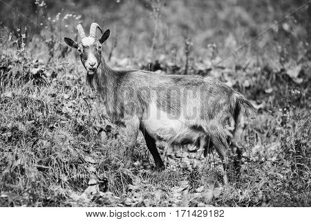 black and white art photography monochrome grey goat with horns grazing in the meadow and eating grass mammals. Pet