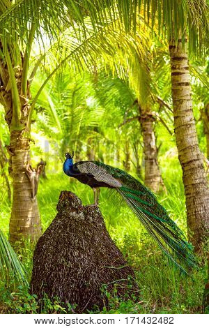 Peacock standing on the stone. Peacock in front of palm tree