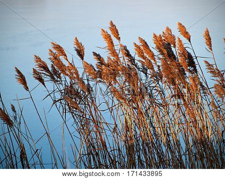 Common reed rush plants illuminated with sunset colors with water in the background