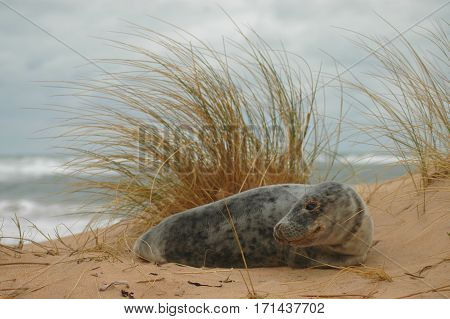A common seal (harbour seal) pup resting on a beach n Aberdeenshire, Scotland.