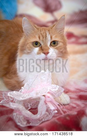 Ginger cat playing with a garter and other wedding accessories items for the bride.
