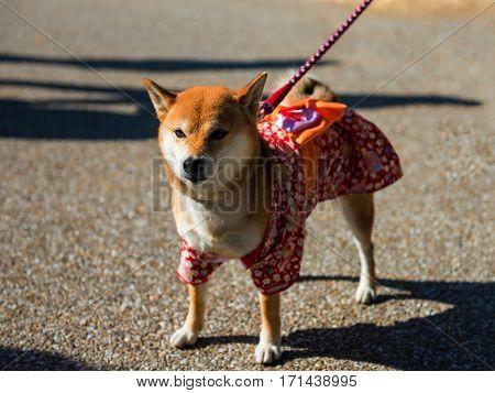 Shiba Inu Dog With  Yukata